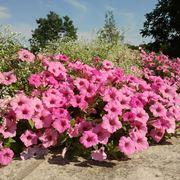petunia fiore