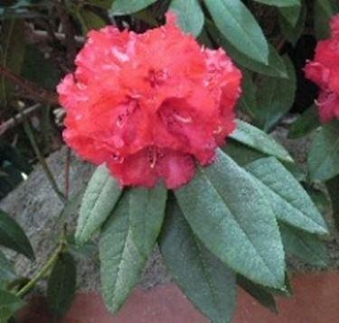 Significato rododendro significato dei fiori - Rododendro prezzo ...