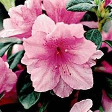 Significato rododendro significato dei fiori for Rododendro pianta