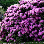 fiori simili ai rododendri