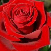 rose rosa