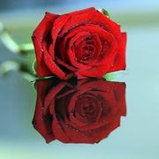 significato rosa nera
