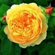 rose gialle