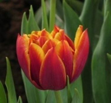 fiore di tulipano rosso