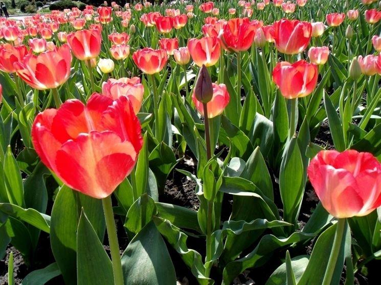 fiore di tulipano color cardinale