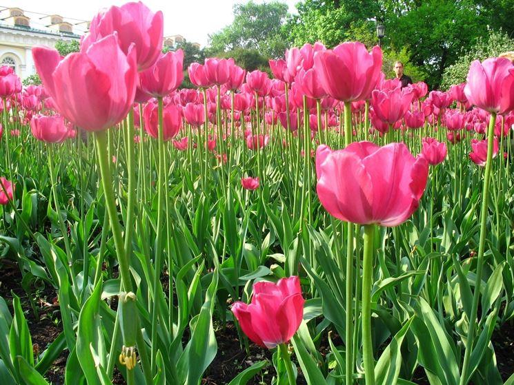 giardino di tulipani