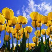 tulipano giallo significato