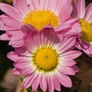 fiori simbologia