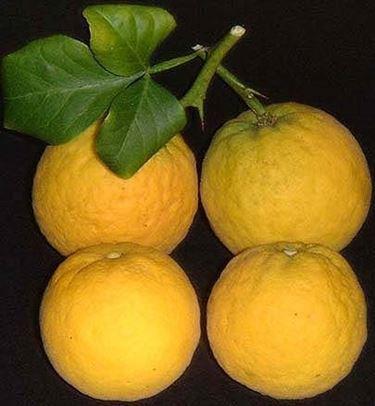 arancio trifogliato2