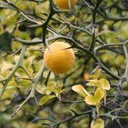arancio trifogliato