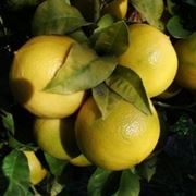 bergamotto frutto