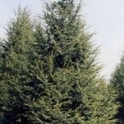 cedro pianta