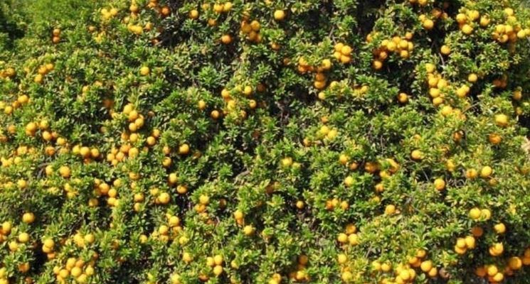 Pianta agrume chinotto