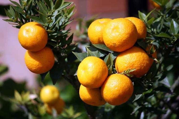 Chinotto frutto pianta
