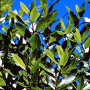 chinotto pianta