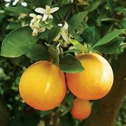coltivare arance