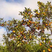kumquat coltivazione