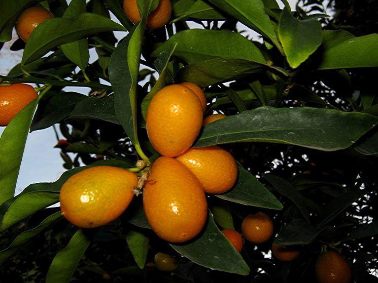 Kumquat mandarino cinese