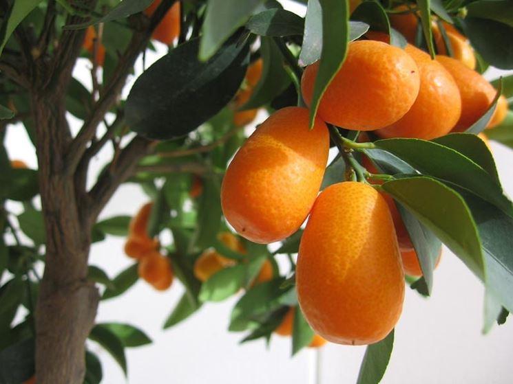 Frutti cinesi
