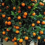 mandarino cinese pianta