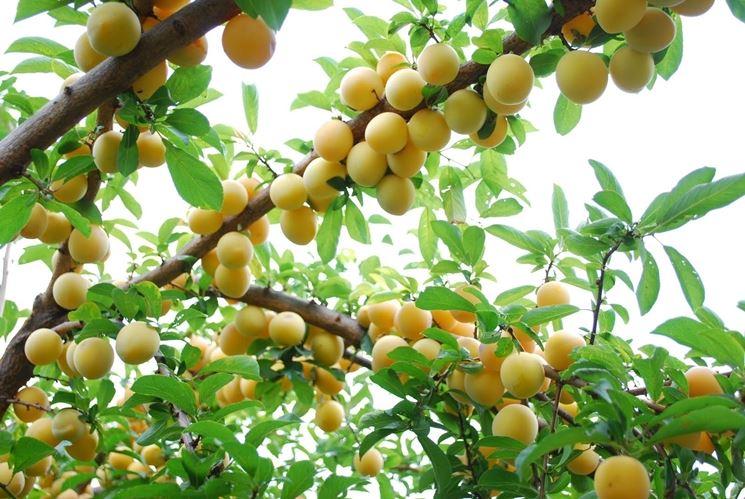 Alberi da frutto alberi da frutto coltivare albero frutto for Quando piantare alberi da frutto