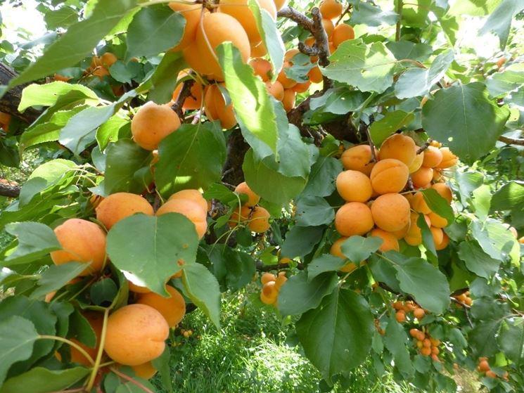 Rami albicocco frutti
