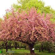 Ciliegio alberi da frutto come coltivare il ciliegio for Quando piantare alberi da frutto