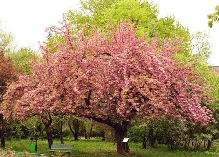 alberi di ciliegio fioritura