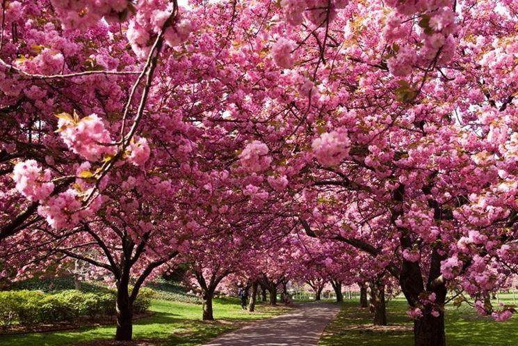 Alberi di ciliegio - alberi da frutto - Caratteristiche dellalbero di ...