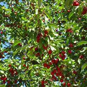 Alberi di ciliegio alberi da frutto caratteristiche for Piccoli alberi da frutto