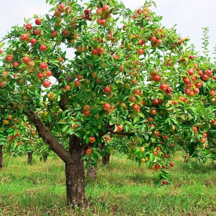 Un albero di melo carico di frutti