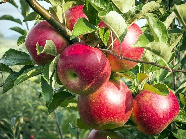 Particolare delle mele su un ramo