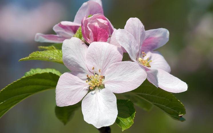 Fiori dell'albero di melo