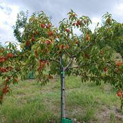 Un albero di pesco carico di frutti