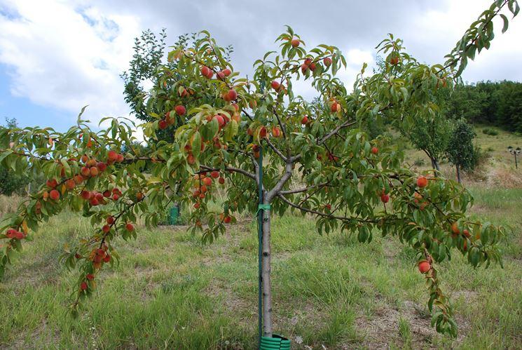 Un <strong>albero di pesco</strong> carico di frutti