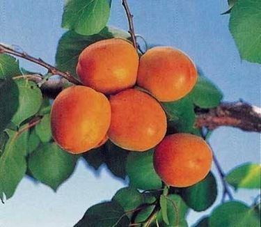 albicocche goldrich