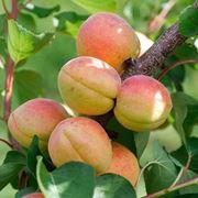 albicocco variet�