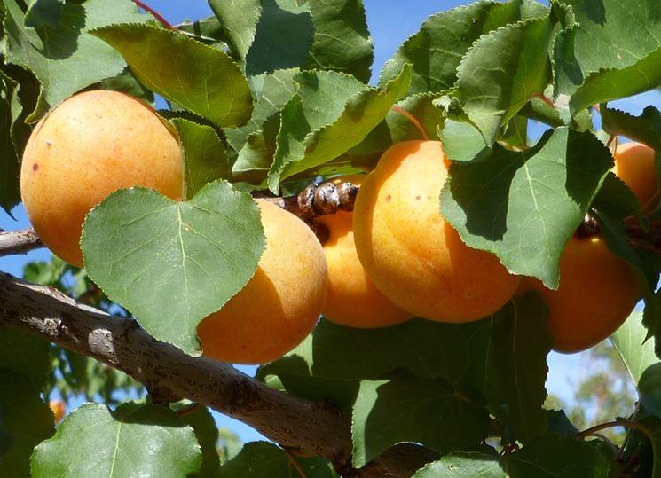 albicocco frutti