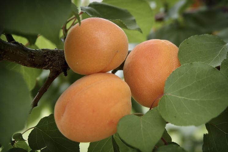 albicocco frutto