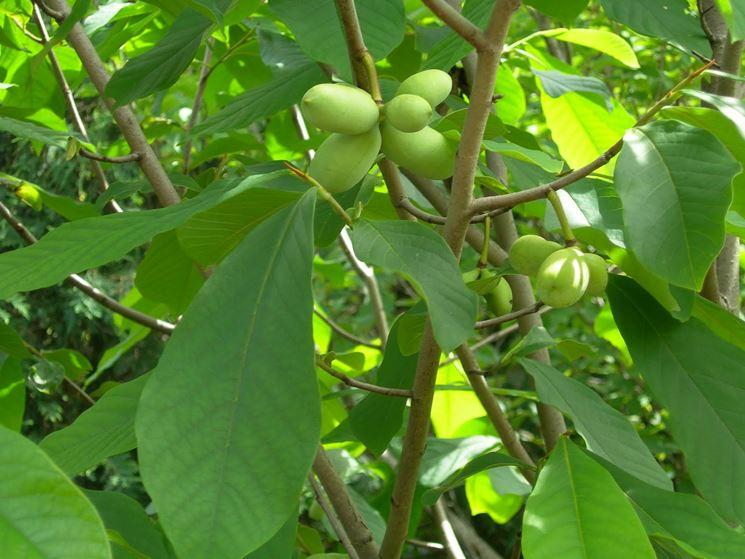 Frutti asimina triloba