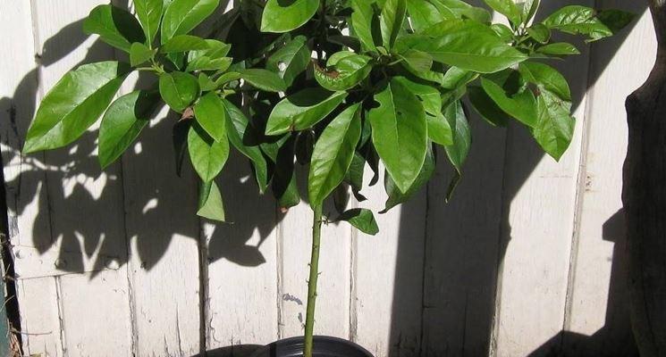 Albero avocado in vaso