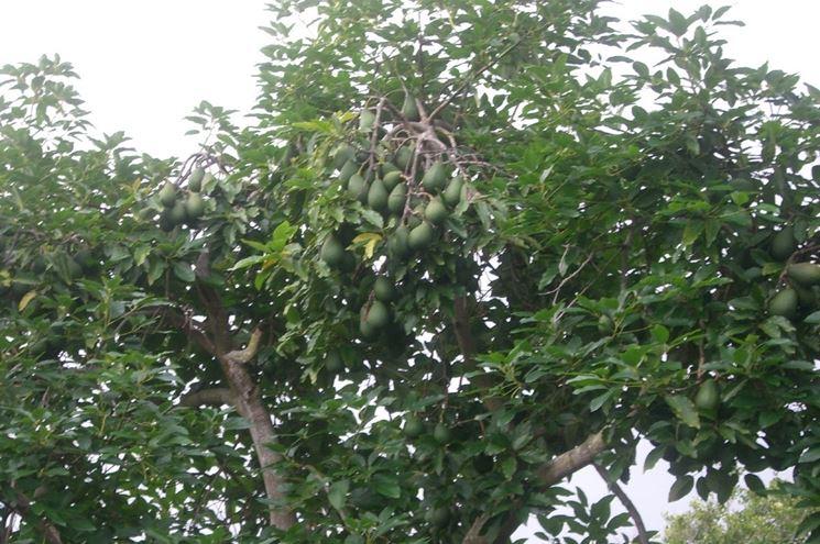 Coltivazione avocado in giardino