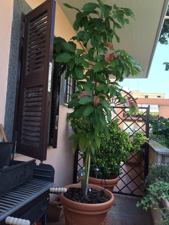 Avocado coltivazione alberi da frutto come coltivare l for Alberi da frutto in vaso