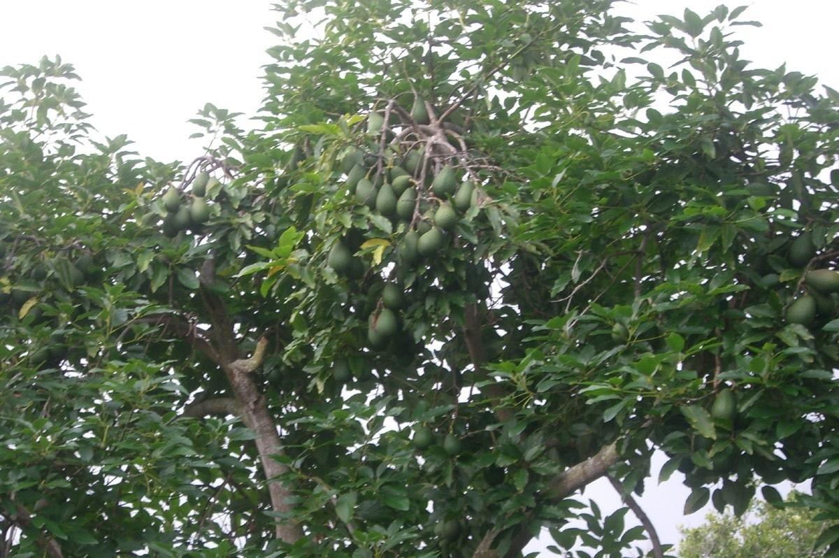 Avocado coltivazione alberi da frutto come coltivare l for Piccoli alberi da frutto