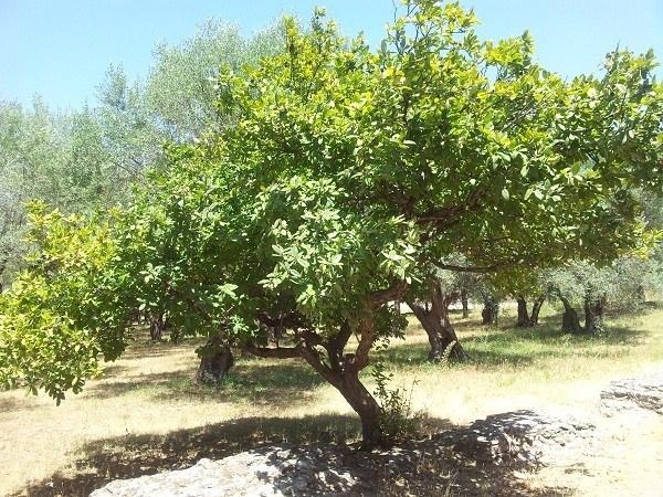 Avocado coltivazione alberi da frutto come coltivare l for Pianta di avocado