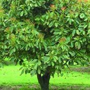 Gli alberi da frutto in ordine alfabetico for Pianta di avocado
