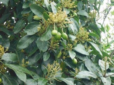 Pianto di avocado con frutti.