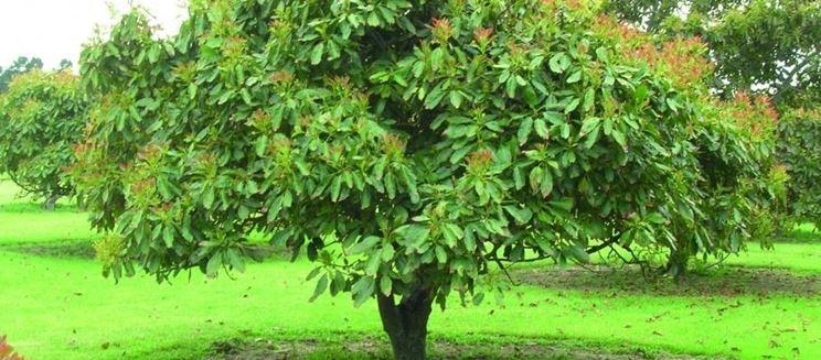 avocado pianta alberi da frutto caratteristiche dell