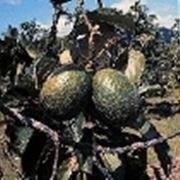 pianta avocado potatura