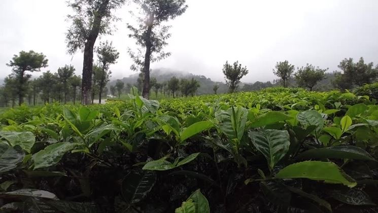 Banano montagna